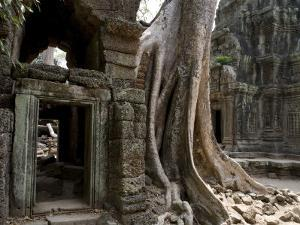 Fig Tree Growing over Crumbling Ruins at Angkor Wat by Rebecca Hale