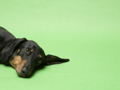 Studio Portrait of a Dachshund Against a Green Background by Rebecca Hale