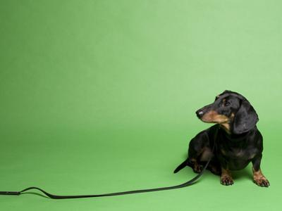 Studio Portrait of a Dachshund with Leash, Against a Green Background by Rebecca Hale