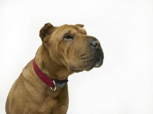 Studio Shot of a Chinese Shar-Pei, on White by Rebecca Hale