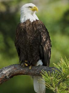 Bald Eagle Perching in a Pine Tree, Flathead Lake, Montana, Usa by Rebecca Jackrel