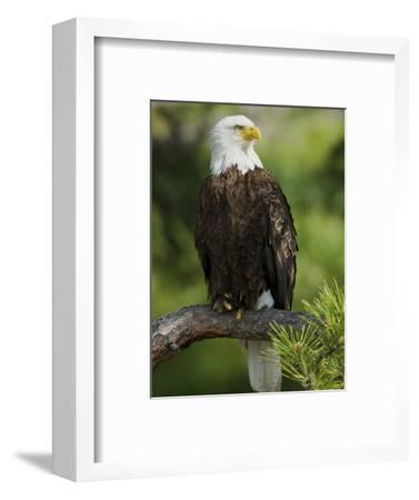 Bald Eagle Perching in a Pine Tree, Flathead Lake, Montana, Usa