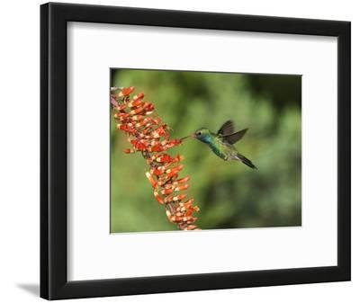 Broad-Billed Hummingbird, Cochise Co, Arizona, Usa