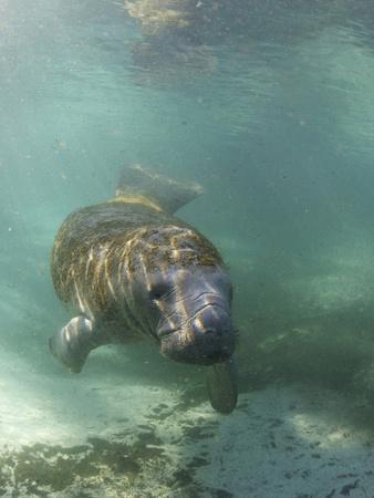 Florida Manatee, Crystal River, Florida, Usa