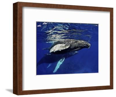 Humpback Whale Calf, Silver Bank, Domincan Republic