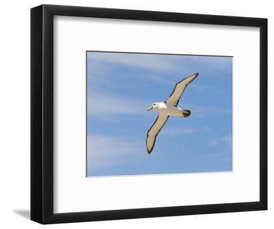 Shy Albatross in Flight, Bass Strait, Tasmania, Australia