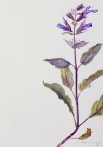 Flowering Sage, 1995 by Rebecca John