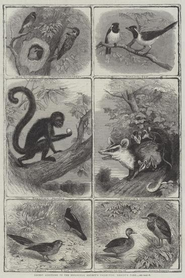 Recent Additions to the Zoological Society's Collection, Regent's Park--Giclee Print