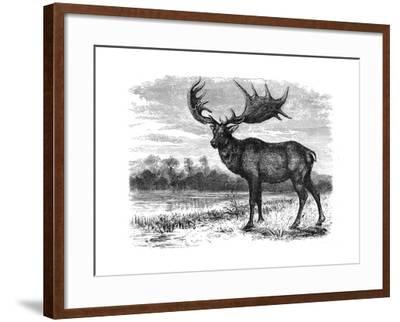 Reconstruction of the Irish Elk (Megalocero), C1880--Framed Giclee Print