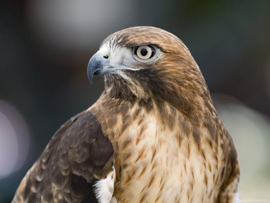 Recovering Captive Red-Tailed Hawk, California-Rich Reid-Photographic Print