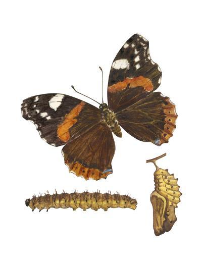 Red Admiral Butterfly, Caterpillar, and Pupae (Vanessa Atalanta), Insects-Encyclopaedia Britannica-Art Print