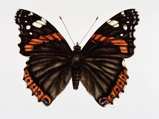 Red Admiral Butterfly-Lizzie Harper-Photographic Print