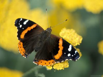 Red Admiral on Butterfly Bush Leaf, Woodland Park Zoo, Washington, USA--Photographic Print