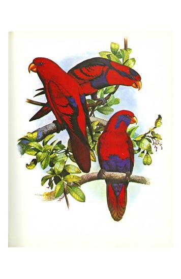 Red and Blue Lory no. 53--Art Print