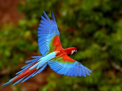 Red and Green Macaw (Ara Chloroptera) Flying, Mato Grosso Do Sul, Brazil-Pete Oxford-Photographic Print