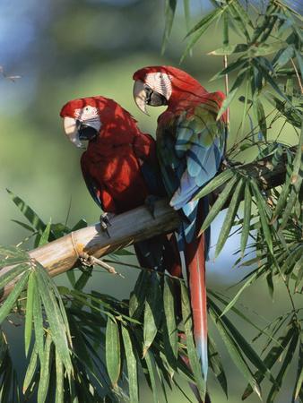 https://imgc.artprintimages.com/img/print/red-and-green-macaw-ara-chloroptera-pair-pantanal-brazil_u-l-peup7x0.jpg?p=0
