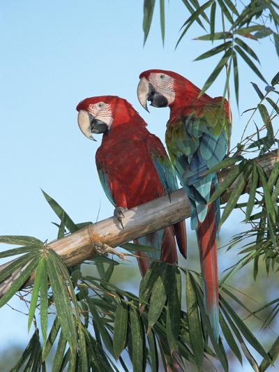 Red and Green Macaw (Ara Chloroptera) Pair, Pantanal, Brazil-Konrad Wothe-Photographic Print