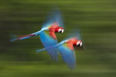 Red And Green Macaws (Ara Chloropterus) In Flight, Motion Blurred Photograph, Buraxo Das Aras-Bence Mate-Photographic Print