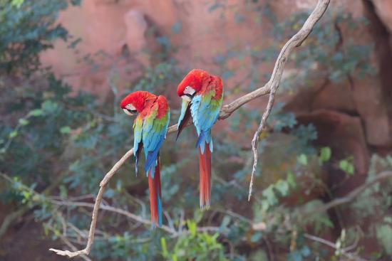 Red-And-Green Macaws (Ara Chloropterus) Perched on a Branch in Buraco Das Araras, Brazil-G&M Therin-Weise-Photographic Print