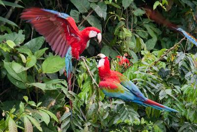 Red-And-Green Macaws in a Tree-Howard Ruby-Photographic Print