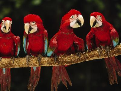 Red-And-Green Macaws on Branch, Ara Chloroptera, Tambopata National Reserve, Peru-Frans Lanting-Photographic Print