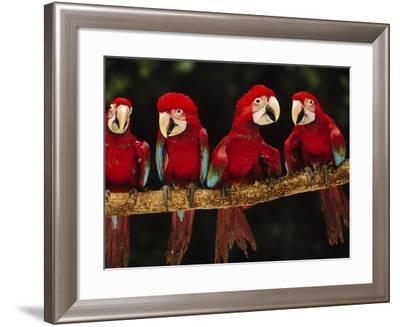 Red-And-Green Macaws on Branch, Ara Chloroptera, Tambopata National Reserve, Peru-Frans Lanting-Framed Photographic Print