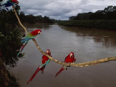 Red-And-Green Macaws on Liana, Ara Chloroptera, Manu National Park, Peru-Frans Lanting-Photographic Print
