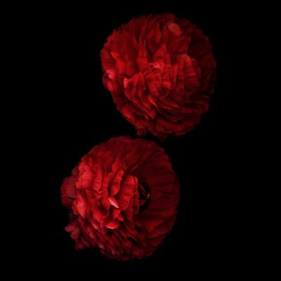 Red And More Red - Ranunculus-Magda Indigo-Photographic Print