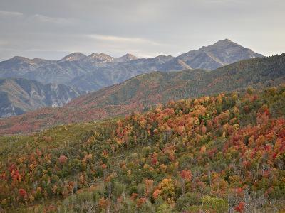 Red and Orange Fall Colors in the Wasatch Mountains, Uinta National Forest, Utah, USA-James Hager-Photographic Print