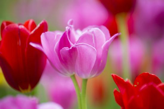 Red and Pink Tulips, Cantigny Park, Wheaton, Illinois-Richard and Susan Day-Photographic Print