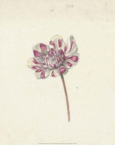 Red and White Flower, c. 1600-1699-Anna Cornelia Moda-Art Print