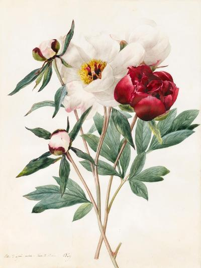 Red and White Herbaceous Paeonies, 1829 (W/C with Some Bodycolour on Vellum)-Louise D'Orleans-Giclee Print