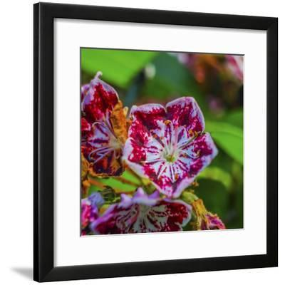 Red and white mountain laurel (Kalmia Latifolia) close-up.-William Perry-Framed Photographic Print