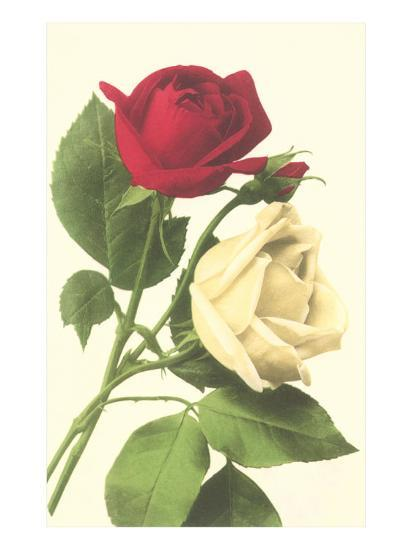 Red and White Roses--Art Print