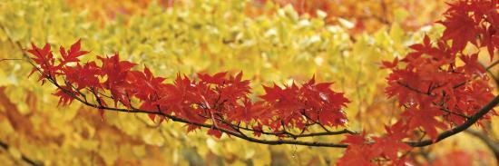 Red and Yellow Autumnal Leaves--Photographic Print