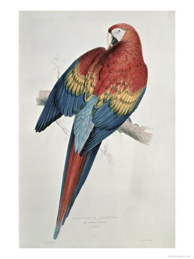 Red and Yellow Macaw-Edward Lear-Giclee Print
