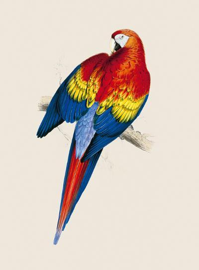 Red and Yellow Maccaw-Edward Lear-Premium Giclee Print