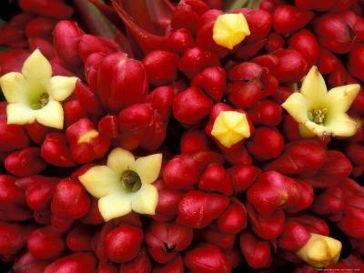 Red and Yellow Rainforest Flower, Barro Colorado Island, Panama-Christian Ziegler-Photographic Print