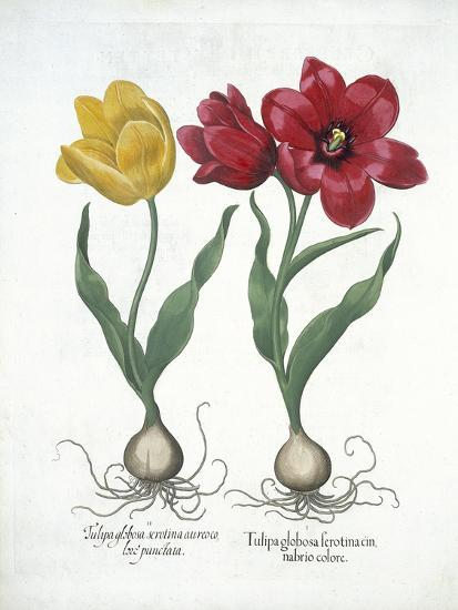 Red and Yellow Tulip, from Hortus Eystettensis--Giclee Print