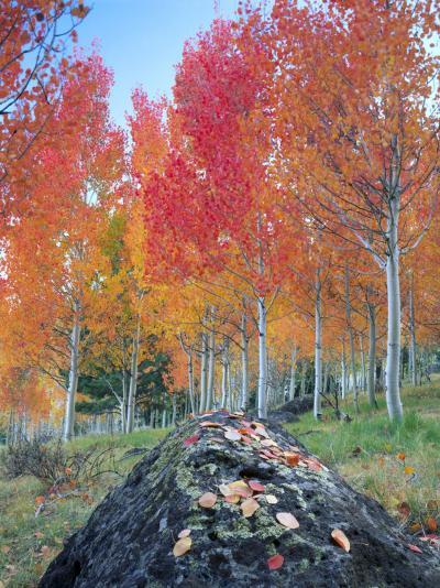 Red Aspen Grove, Boulder Mountain, Dixie National Forest, Utah, USA-Scott T^ Smith-Photographic Print