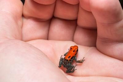 Red-Backed Poison Frog, (Ranitomeya Reticulata) a Colorful and Poison Frog of the Amazon Jungle.-Christian Vinces-Photographic Print