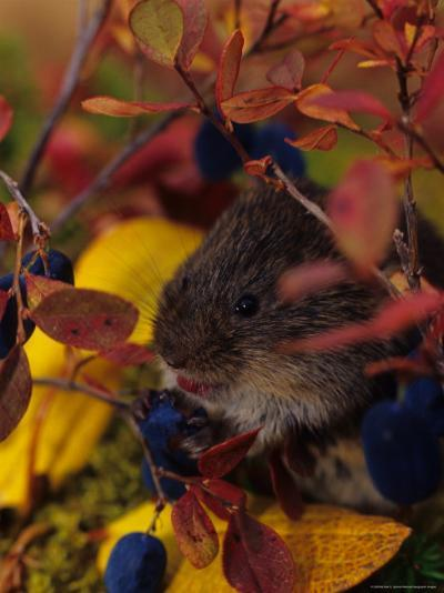 Red Backed Vole with Blueberry, Alaska-Michael S^ Quinton-Photographic Print