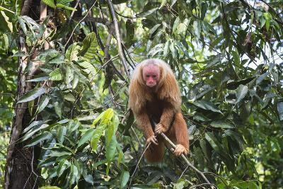 Red Bald-Headed Uakari Monkey also known as British Monkey (Cacajao Calvus Rubicundus), Brazil-G&M Therin-Weise-Photographic Print
