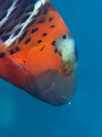 Red-Banded Wrasse (Cheilinus Fasciatus), Cairns, Queensland, Australia, Pacific-Louise Murray-Photographic Print