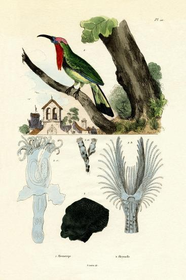 Red-Bearded Bee-Eater, 1833-39--Giclee Print