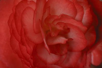 Red Begonia Abstract-Anna Miller-Photographic Print
