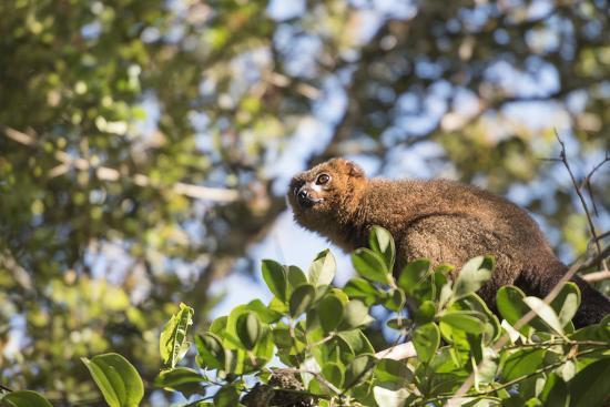Red Bellied Lemur (Eulemur Rubriventer), Ranomafana National Park, Madagascar Central Highlands-Matthew Williams-Ellis-Photographic Print