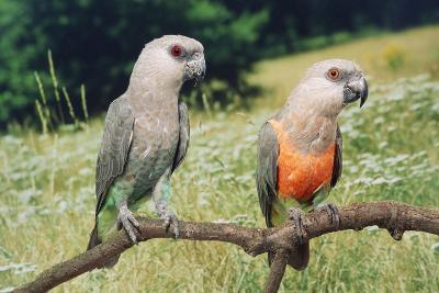Red-Bellied Parrots--Photographic Print