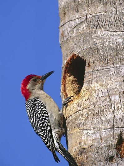 Red-Bellied Woodpecker, Everglades National Park, Florida, USA-Charles Sleicher-Photographic Print