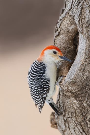 Red-Bellied Woodpecker Hunting for Invertebrates-Larry Ditto-Photographic Print
